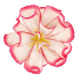 Top view of pink flower isolated on white Stock Photos