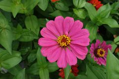 Top view of pink flower of zinnia stock photo