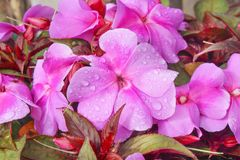 Top view pink or purple impatiens balsamina flower blooming with water drops in garden stock photos