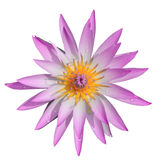 Top view pink water lilly on white background Royalty Free Stock Image