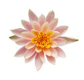 Top view of pink water lily flower Royalty Free Stock Photo