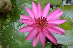 Top view of pink water lily flower. With leaves in the pond Stock Image