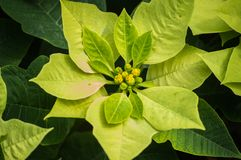 Top view of Poinsettia or Christmas star stock image