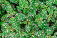 Top view of Polka dot plant (Hypoestes phyllostachya). Selective. Pattern of Polka dot plant (Hypoestes phyllostachya), top view. Selective Focus Stock Images