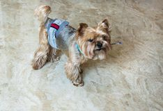 Top view portrait of a golden yorkshire terrier in a hygienic belt, with a pen in the mouth. On the floor stock photos