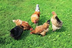 Top view of poultry chickens roosters walking on the lush green grass in the yard of the farm in the summer. Top view of poultry chickens roosters walking on the royalty free stock images