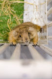 Top view of prairie dog in white cage Royalty Free Stock Images
