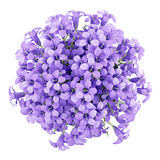Top view of purple flowers in pot isolated on white Stock Photo