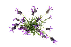 Top View of Purple and Green Lavender Stock Images
