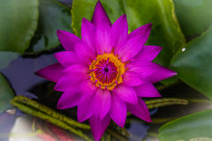 Top view purple lotus and yellow pollen Stock Images