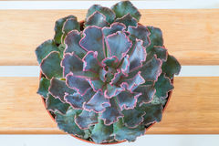 Top view purple pink succulent Royalty Free Stock Photo