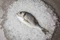 Top view of raw gilt-head bream on crushed ice and on concrete surface Royalty Free Stock Image