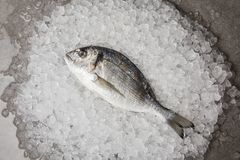 Top view of raw gilt-head bream on crushed ice and on concrete surface royalty free stock photos