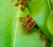 Top view  of red ant army are  buliding nest by use leaf Stock Photo