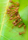 Top view  of red ant army are  buliding nest by use leaf Stock Photography