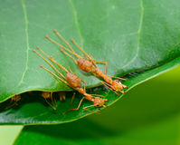 Top view  of  red ants  are buliding nest by use leaf Royalty Free Stock Photo