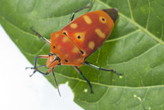 Top View of Red Bug Stock Photography