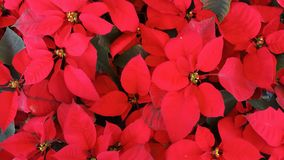 Red Christmas Poinsettia plant in winter of Thailand. Top view of Red Christmas Poinsettia plant in winter of Thailand royalty free stock photos