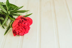 Top view red peony on white wooden background with copyspace Stock Image
