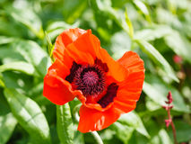 Top view of red poppy flower on green field Royalty Free Stock Photography