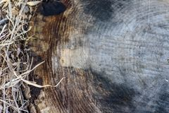 Top view of rough cut surface of tree stump in forest. Overhead view of old weathered cut tree stump in dry grass for use as background royalty free stock photo