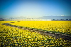 Free Top View S-curved Winding Path In Daffodil Farm At Skagit Valley Royalty Free Stock Photo - 111747435