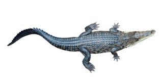 Top view of Saltwater crocodile. (Crocodylus porosus), isolated on white background Royalty Free Stock Photos
