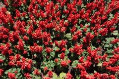 Top view of Salvia splendens in bloom. Top view of Salvia splendens in full bloom royalty free stock photo