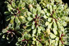 Top view of Saxifraga, succulent evergreen plants for perennial groundcover. Top view of Saxifraga, Whitehill, succulent evergreen plants for perennial stock photos