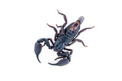 Top view, scorpion on white background. Giant forest scorpion species found in tropical and subtropical areas in Asia Stock Images