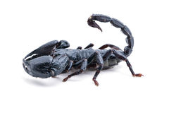 Top view, scorpion on white background. Giant forest scorpion species found in tropical and subtropical areas in Asia Stock Image