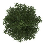 Top view of scots pine tree isolated on white. Background Royalty Free Stock Photo