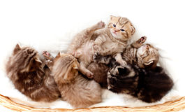 Top view of Scottish kittens in basket. Top view Stock Images