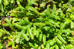 Top view of Selaginella tamariscina Stock Image
