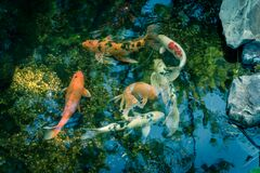 Water garden with landscaping rocks and colorful koi fishes swimming near Dallas, Texas, USA