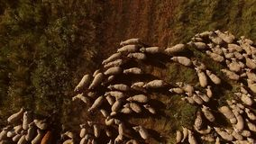 Top view of sheep herd. Sheep are walking on meadow. Animals from local farm. Flock follows the leader stock footage