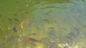 Top view shot of Koi fish, Fancy Carp are swimming in pond stock video
