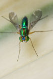Top view shot of a long legged fly Stock Photography