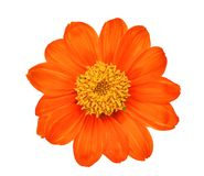 Top view of single orange flower isolated on white. Background Stock Photo