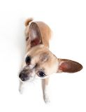 Top view of sitting chihuahua doggy Royalty Free Stock Images