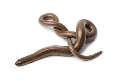 Top view of a slowworm - Anguis fragilis Stock Images
