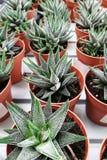 Top view of small green Haworthia attenuata or zebra cactus royalty free stock photos