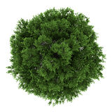 Top view of small-leaved lime tree isolated. On white background Stock Images