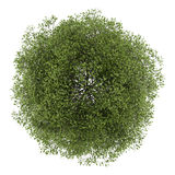 Top view of small-leaved lime tree isolated on white Stock Photography