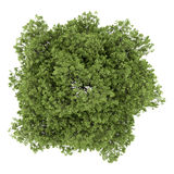Top view of small-leaved lime tree isolated on white Stock Photos