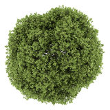 Top view of small-leaved lime tree isolated on white. Background Stock Images