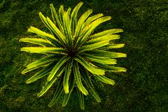 Top view of small sago palm tree plant royalty free stock photos