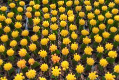 Top view of small yellow cactus selective focus in flowerpot houseplant. At the farm royalty free stock photos