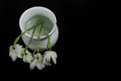 Top View of Snowdrops in Jar. Closeup photo of four white snowdrop flowers in tiny white jar.  Horizontal photo against black background with copy space in the Royalty Free Stock Photos
