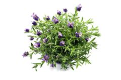 Top view of spanish lavender on white isolated background stock photography